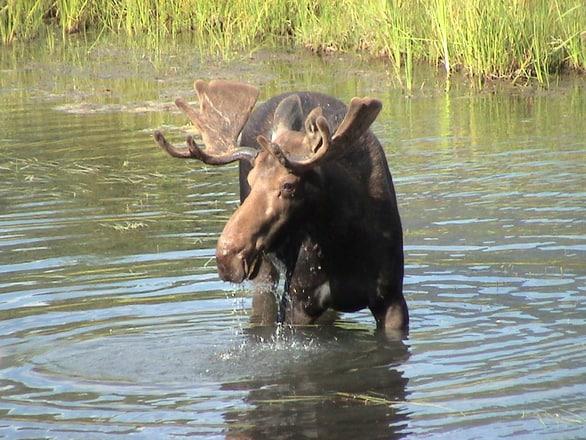moose 1468403